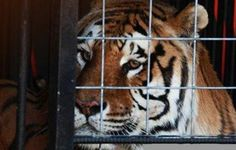 Bill initiated in New York would end public contact with big cats