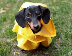 {doxie in a raincoat} too cute!! May be it's Doxie in a raincoat but have had a really good look on Doxie face? It's thinking please take it off they said no rain today.