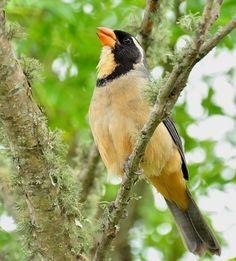 Foto bico-duro (Saltator aurantiirostris) por Oscar Abener Fenalti | Wiki Aves - A Enciclopédia das Aves do Brasil