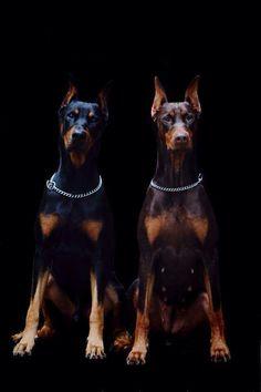 Doberman dogs                                                                                                                                                                                 More