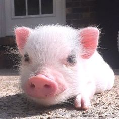 Cute Wild Animals, Cute Little Animals, Animals Beautiful, Animals And Pets, Funny Animals, Cute Baby Pigs, Cute Piglets, Teacup Pigs, Cute Reptiles