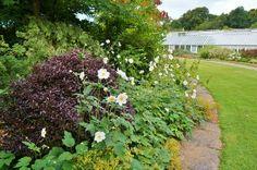 Pittosporum 'Tom Thumb', Anemone japonica | Flickr - Photo Sharing!