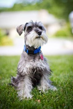 Beautiful schnauzer
