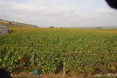 Grand Cruit grapes - on the road to Paris