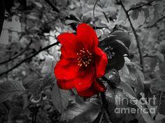 Quince Flower by Felikss Veilands