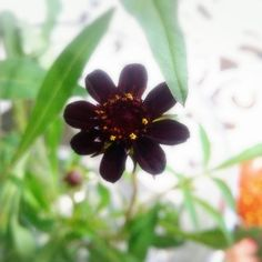 【enyaflowers】さんのInstagramをピンしています。 《おはようございます園舎です♪ ・ 今日は温室からチョコレートコスモスです!! ・ コスモスだけでも秋~ですがこの色がまた秋らしさを増しますね^^ ・ #園舎 #観葉植物 #園芸 #グリーン #多肉植物 #エアープランツ #大小 #置物 #水耕栽培 #雑貨 #苔玉 #ハイドロ #季節の花 #切り花 #苗 #鉢植え #シルクフラワー #プリザーブドフラワー #アーティシャルフラワー#花屋 #神戸 #晴れ #お出掛け #神戸市 #コープリビング #甲南店 #食虫植物 #ドライフラワー #テラリウム #初秋》