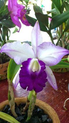 Blue Hawaii Orchid