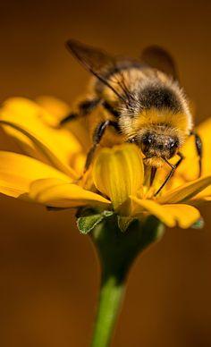 A bumblebee hard at work.
