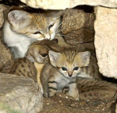 Don't you just love the sand cat families?