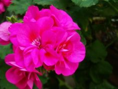 I know now what to do! Geranium Care Tips - Growing Zonal Geraniums in Containers