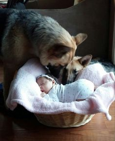My beautiful niece and her two guard dogs. Aunt Elizabeth's lil angel <3 #germanshepherd
