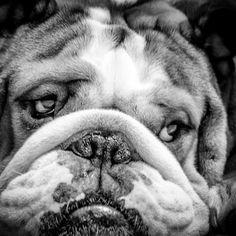 English Bulldog with those eyes. AC