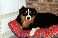 Apollon, chien Berger australien