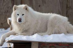 ~ Giant Alaskan Malamute