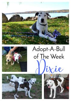 Adopt-A-Bull of The Week – Dixie in New York | http://www.thelazypitbull.com/adopt-a-bull-dixie-new-york/