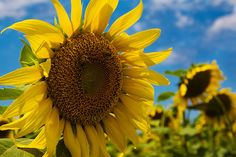 "Kansas is often called ""The Sunflower State"" after the official state flower. Places To Travel, Places To See, Places Ive Been, Beautiful Flowers, Beautiful Pictures, Land Of Oz, Travel Log, Instagram Ideas, Sweet Memories"