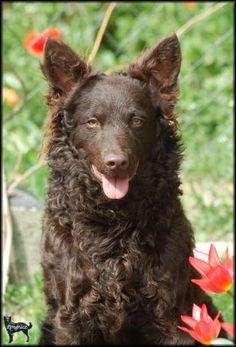 Hungarian Mudi dog - brown
