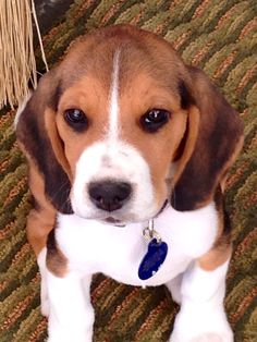 little baby beagle!! :) love him.