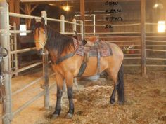 SOLD   116 - 15hh, 15 year old, buckskin gelding, $450.00, quiet and sweet in the pen, ridden through western quietly w / gait, said to be a great trail horse —