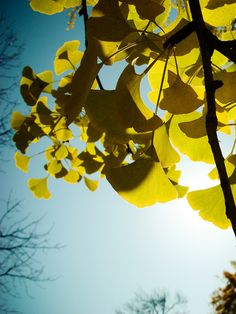 my favorite tree...Gingko!