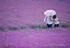 Google Afbeeldingen resultaat voor http://riwasaki.com/wp-content/uploads/2010/07/199908_umbrella_lavender-Edit.jpg