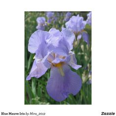 Shop Blue Mauve Iris Acrylic Print created by Personalize it with photos & text or purchase as is! Mother Birthday, Mom Birthday Gift, Happy Birthday, Gifts For Coworkers, Gifts For Friends, Gifts For Mom, Get Well Gifts, Acrylic Wall Art, Housewarming Gifts