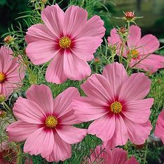 Cosmos Sensation Gloria Pink Flower Seeds / Annual / by YouMakeMeSmileSeeds on Etsy Cosmos Flowers, Flowers Nature, Cut Flowers, Spring Flowers, Wild Flowers, Beautiful Flowers, Flowers Garden, Colorful Flowers, Prettiest Flowers