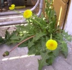 The dandelion plant in this photo was growing in the back of our house.