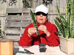 How to Propagate a Mother In Laws Tongue or Snake Plant through Leaf Cut...
