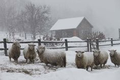 Getting Stitched on the Farm: Scenes of Sheep in a Two Day Storm Farm Animals, Animals And Pets, Cute Animals, Alpacas, Winter Szenen, Winter White, Wooly Bully, Baa Baa Black Sheep, The Farm