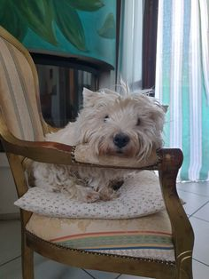 West Highland White, White Terrier, Dogs, Animals, Animales, Animaux, Doggies, Animais, Dog