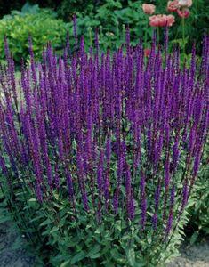 Garden Cottage, Salvia, Garden Planning, Trees To Plant, Garden Inspiration, Garden Plants, Shrubs, Perennials, Hydrangeas