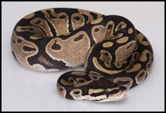 The Beautiful Ball Python