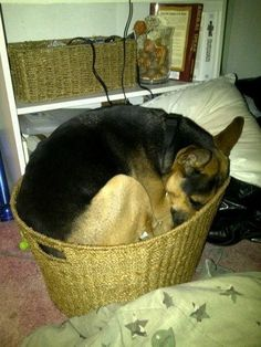 but also love sleeping #GSD in a basket.