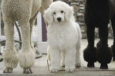 Adorable Standard Poodle Puppy                                                                                                                                                                                 More