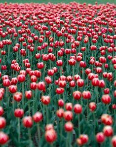 tulips_002web.jpg 399×505 pixels