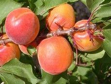 España: La fruta de hueso de Murcia concentrará más volumen en mayo