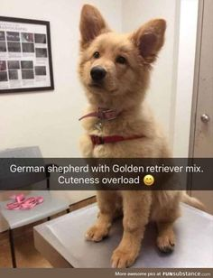 Stunning hand crafted golden retriever accessories and jewelery available at Paws Passion Shop! Represent your golden retriever pup with our merchandise! Cute Funny Animals, Funny Animal Pictures, Cute Baby Animals, Funny Cute, Funny Dogs, Animals And Pets, Funny Memes, Super Funny, Sarcastic Memes