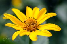 One yellow arnica flower among green leaves in the garden.
