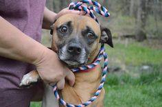 Meet Henry, a Petfinder adoptable Boxer Dog | Lyndhurst , VA | Color:brown/black