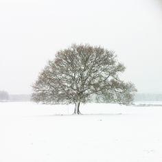 Age old oak (Instagram @benjaminhole)
