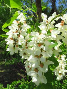 The flowers of the black locust. Black locust is not native to the coastal plain of Virginia, but was exported by the native population for use in making bows and other objects in pre-European-contact North America. Black locust now has the widest worldwide distribution of any North American tree because once you have one you will, in short order, have many, for it is a prolific seeder and one of the first species to colonize a disturbed site.