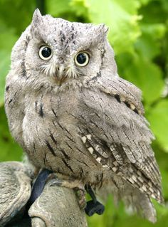 Pallid Scops Owl or Striated Scops Owl (Otus brucei) - ranges from Middle East to west and central Asia, with some populations moving as far as the Arabian Peninsula, Egypt and Pakistan in the winter. Beautiful Owl, Animals Beautiful, Cute Animals, Owl Photos, Owl Pictures, Screech Owl, Owl Bird, Tier Fotos, Baby Owls