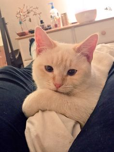 My 1.5 year old Flame point Siamese Maya posing for the camera   http://ift.tt/2aaXlid via /r/cats http://ift.tt/2awWHiR  cats funny pictures