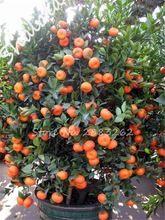 New 50pcs/Bag Orange Seeds Climbing Orange Tree Seed Bonsai Organic Fruit Seeds Like a Christmas Tree Pot For Home Garden Plant(China (Mainland))