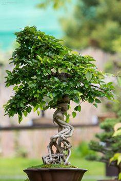 https://flic.kr/p/GwjS1t | Bonsai exhibition | bonsai exhibition Prague Botanical Gardens
