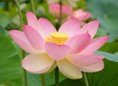 Cuál es el significado de la flor de loto - http://www.jardineriaon.com/cual-es-el-significado-de-la-flor-de-loto.html