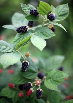 ~ yum ~ blackberries