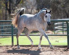 Premonition RCA, Champion 2013 grey Egyptian Arabian stallion (Thee Desperado x Mishaals Kiss RCA by Mishaal HP) #mishaalhp #theedesperado