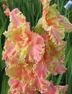 Gladiolus 'Wasabi Salmon 403'